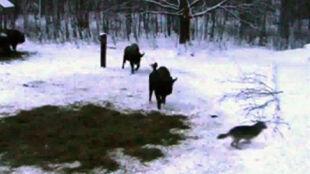Żubry tańczyły z wilkami. Póki nie puściły im nerwy