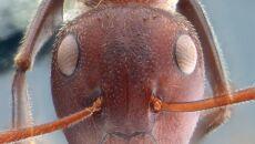 Mrówka z gatunku Colobopsis explodens