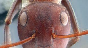Mrówka z gatunku Colobopsis explodens (ZooKeys (CC BY 4.0))